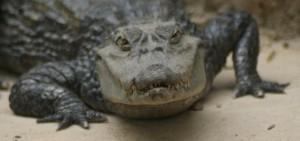 news-crocodile