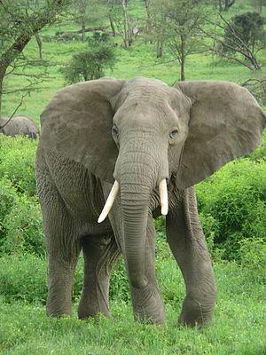 Elefanten - Titanen mit Herz