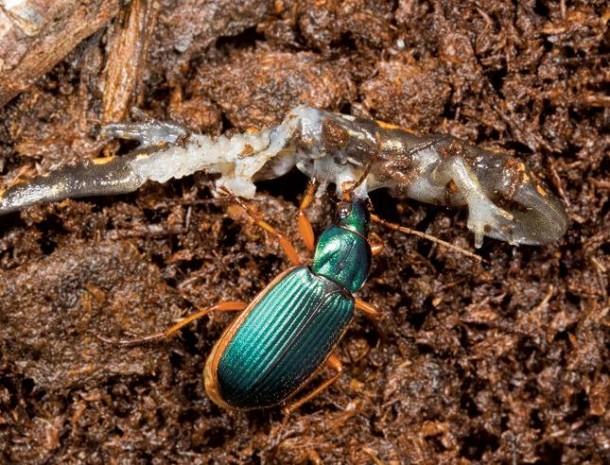 Creepy Nature | Wenn ein Käfer die Kröte frisst!