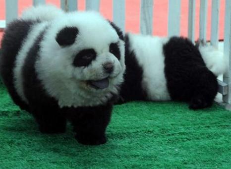 Neuer Trend: Hunde, die wie Pandabären aussehen