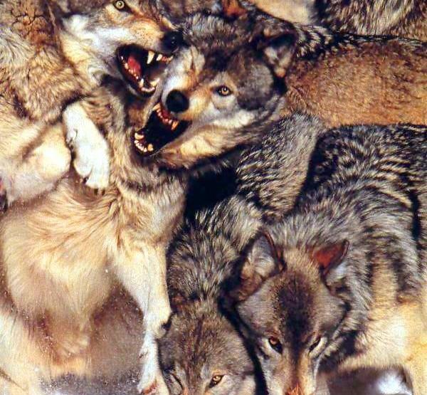 Natura Creepy: I lupi sò manghjà di a natura