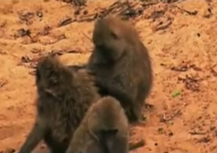 Creepy Nature - A society without douchebags - Baboons lead the way