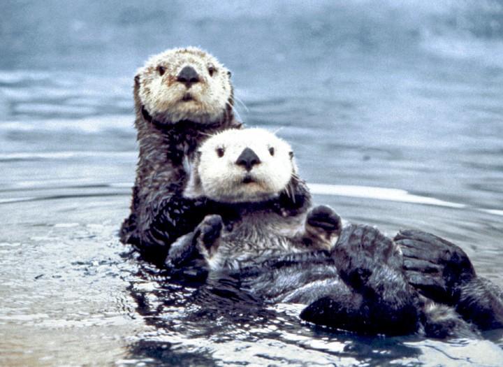 Creepy Nature: Seeotter sind die Sexstraftäter der Tierwelt