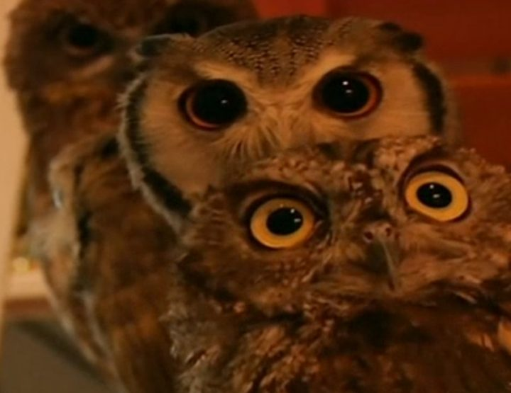 Oddities from the Far East: The owl café in Japan