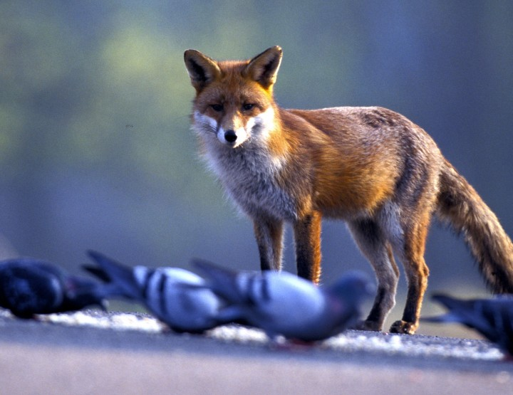 Creepy Nature: Urban Fox