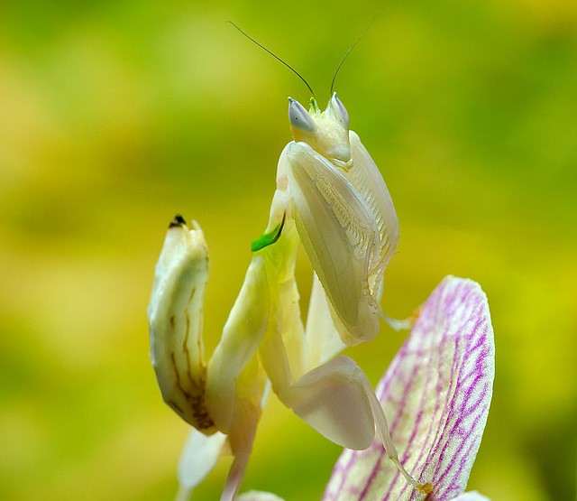 Natura Creepy: I mantis di preghiera sò piccoli assassini creativi di a natura