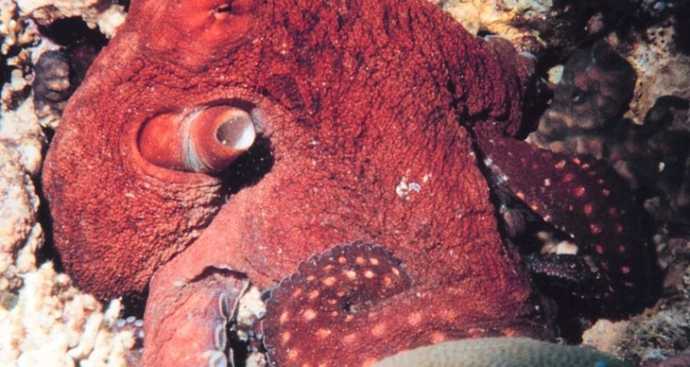 Creepy Nature: The Octopus, the Super Brain of the Sea