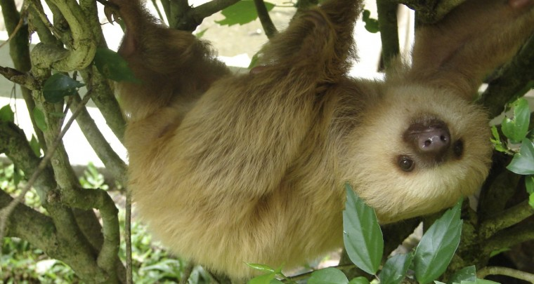 Creepy Nature: Sloths – Only a shadow of their former self!