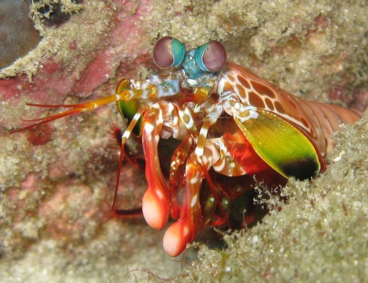 Creepy Nature: Fangschreckenkrebse – Die Scharfschützen der Meere!