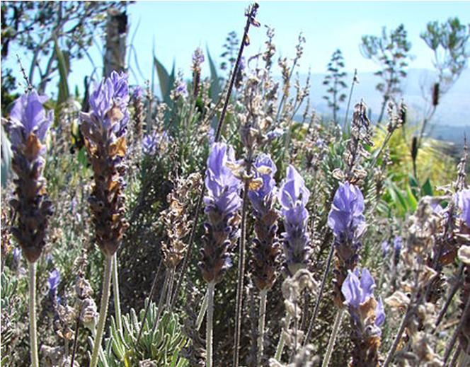 Tip Tuesday |Erlebt jetzt euer blaues Wunder – Schönheitskraut Lavendel