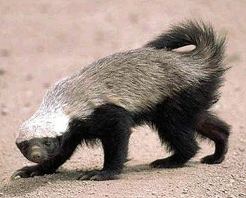 Creepy Nature: Dont f**k with Honeybadger