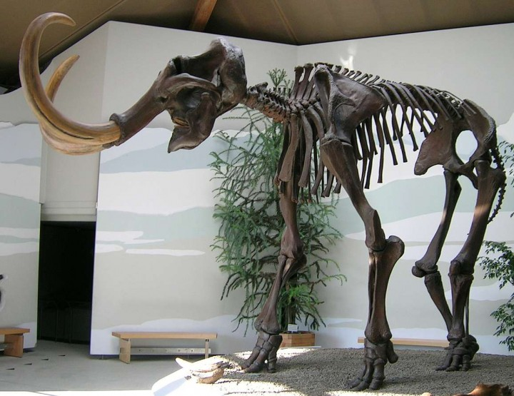 Lebende Mammuts in Sibirien?