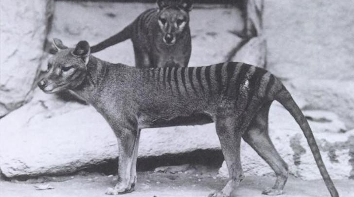 Is the Tasmanian Tiger still alive?