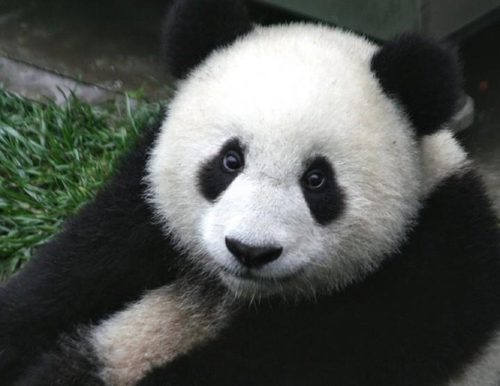 Pandas - süße Bären, grausame Abstammung
