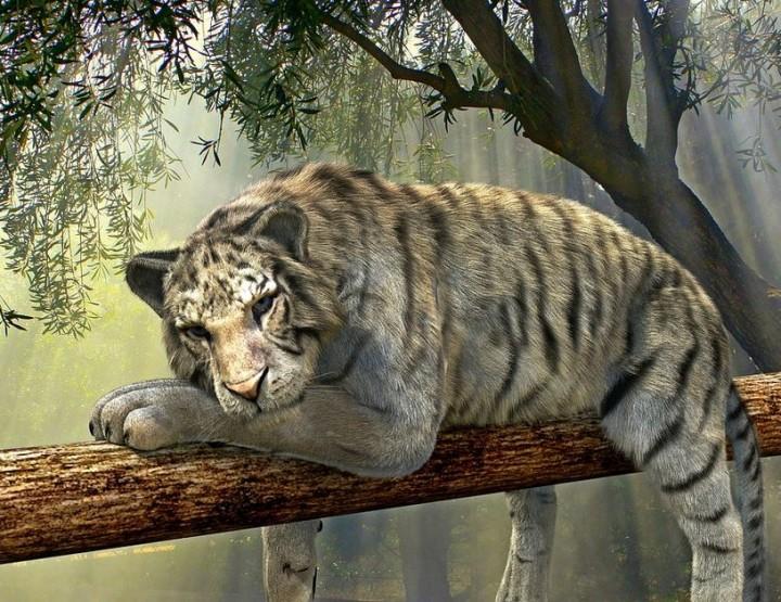 Tiger – vom Aussterben bedroht