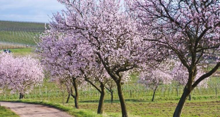 Das rosa Leuchten der Pfalz