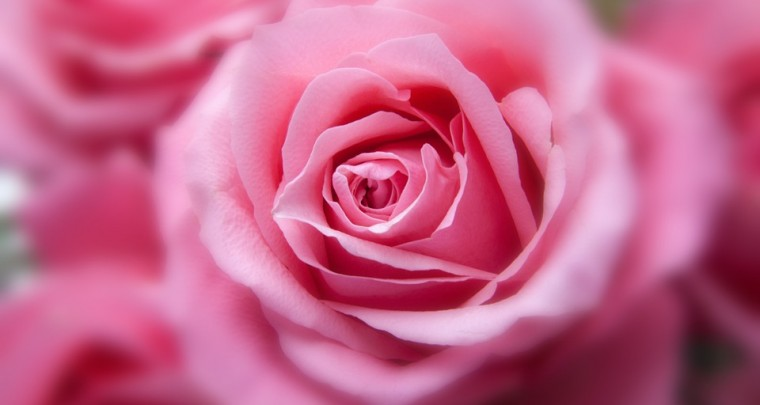 Buying the right flowers - the meaning of rose colors