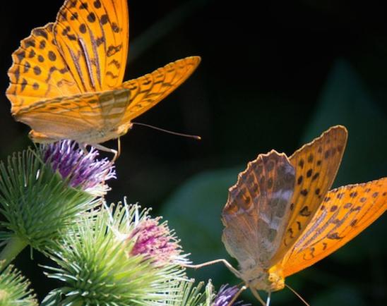 Mach Deinen Balkon zum Schmetterlingsparadies!