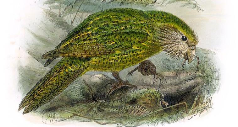 Der Kakapo: Ein Vogel zu naiv, um sich zu behaupten