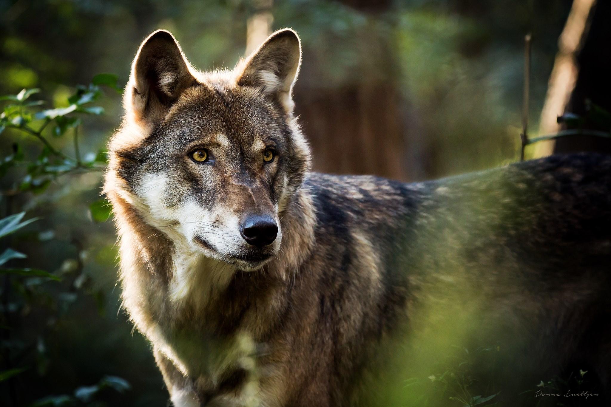 wie sehen wölfe aus