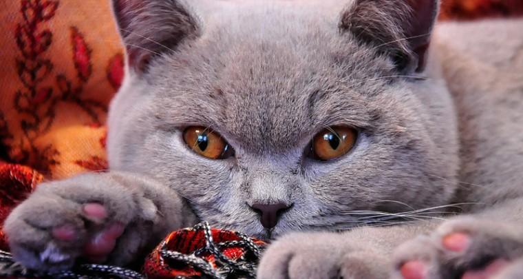 Tierportrait: Die Britische Kurzhaar Katze