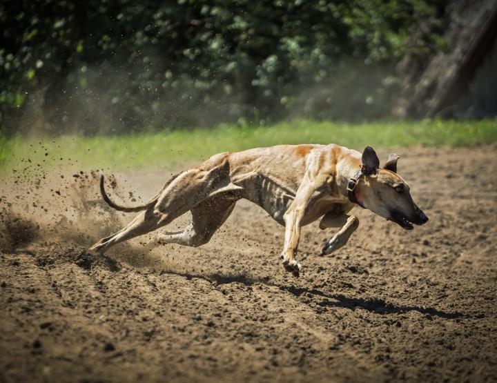 Tierportrait: Die athletischen Windhunde