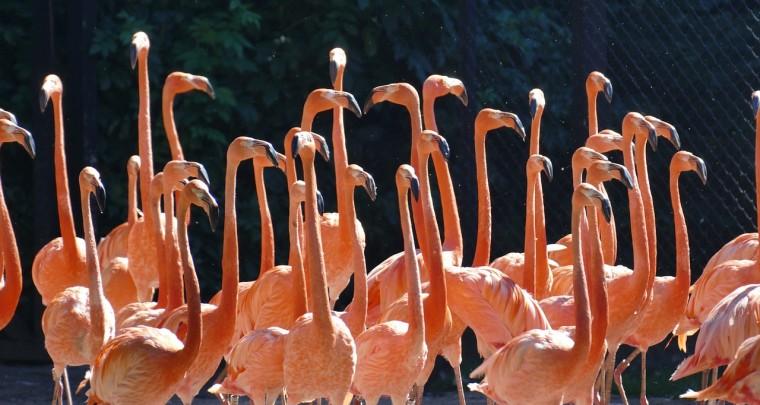 Warum sind Flamingos rosa?