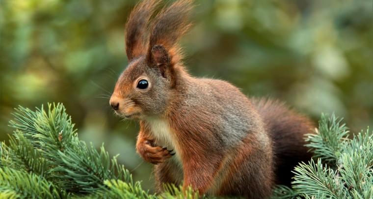 Ein Eichhörnchen zähmen