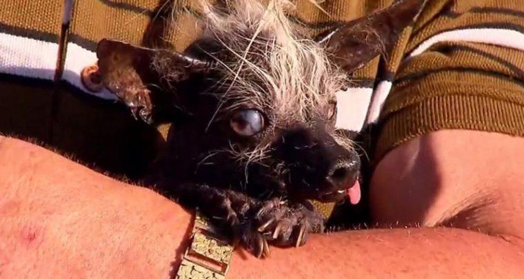 Wettkampf der hässlichsten Hunde