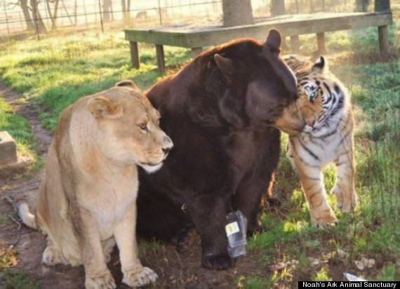 Tiger, Bär und Löwe - eine ungewöhnliche Tierfreundschaft
