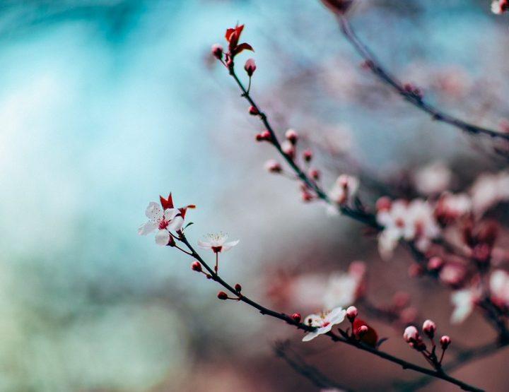 Kirschblütenfest in den Gärten der Welt